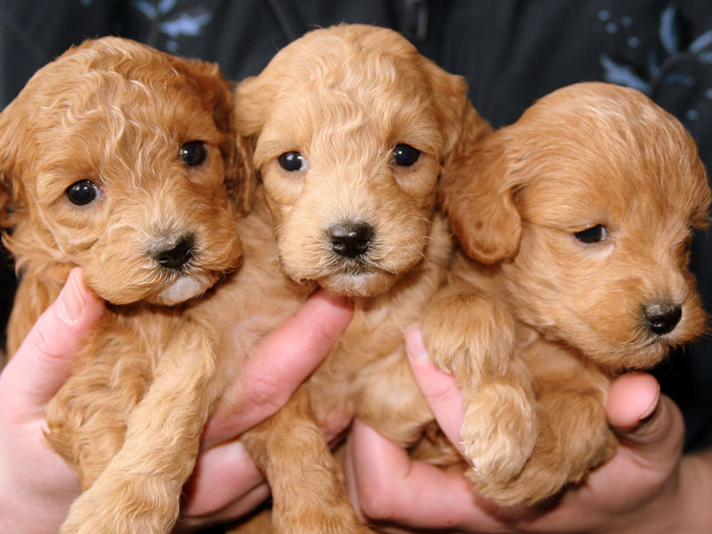 Puppy's, jonger dan 15 weken, mogen niet mee op vakantie naar het buitenland.